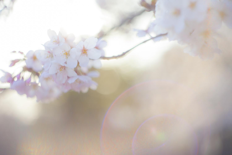 -shared-img-thumb-TSU85_sakurasayonara_TP_V