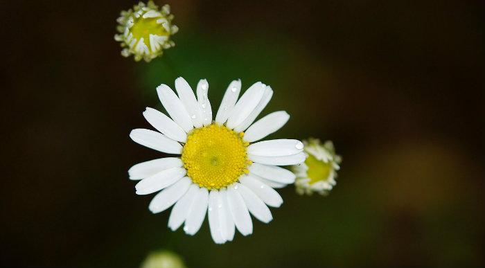 daisy700